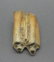 Jual Taring Gigi Gajah Purba Pusaka Ampuh