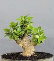 Bonsai Ficus Dolar