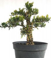 Bonsai Buxus Cantik