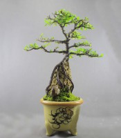 Bonsai Ulmus Mikro