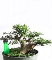 Bonsai Ulmus Small