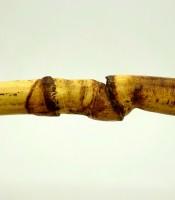 Pusaka Bambu Rotan Ruas Bertemu 1000% Dijamin Asli