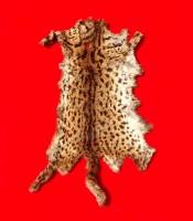 manfaat pusaka kulit macan kalimantan satu badan utuh