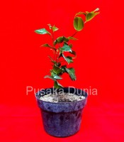Manfaat Tanaman Pohon Bunga Cempaka Merah