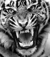 Kegunaan Pengisian Khodam Harimau Putih