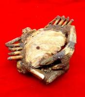 Kegunaan Fosil Kepiting Berumur Jutaan Tahun