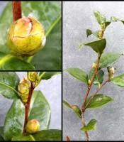 Kegunaan Bunga Cempaka Merah Berkhasiat Asli Harga Murah