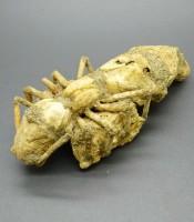 Khasiat Pusaka Fosil Ratu Semut Raksasa