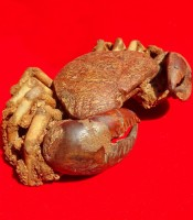Kegunaan Pusaka Fosil Kepiting Terbaik