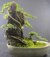 Tanaman Bonsai Ulmus Micro Elegan