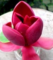 Manfaat Ampuh Menguak Misteri Bunga Mistik Cempaka Merah