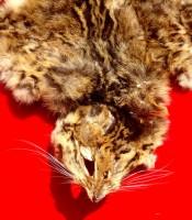 Manfaat Kulit Macan Masih Ada Kumisnya Harga Murah