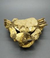 Manfaat Fosil Kepiting Purba