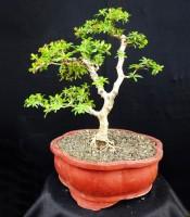 Khasiat Bonsai Geometri Black Olive